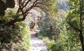 Rhododendron Forest, Triund Camp